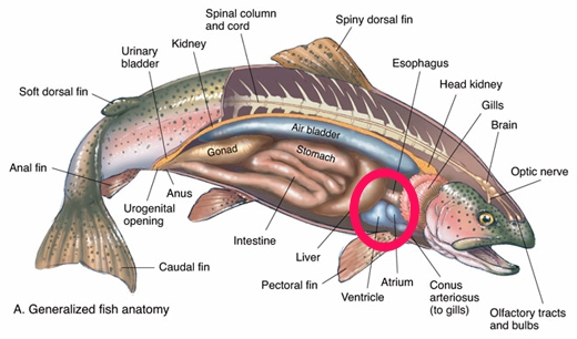 Check out the anatomy of the trout, an d make sure you grip and grin, not grip and kill.
