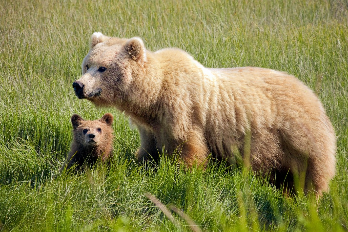 If a bear spots you, it will most likely retreat as quickly as possible. But if it is traveling with a cub, the momma bear's protective instincts may cause it to become aggressive and defend itself and it's cub.