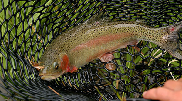 Beginner Fly-Fishing Clinic (Wade/Walk) | Half Day | Arkansas River, CO