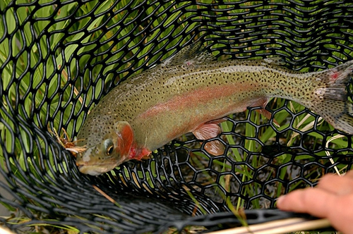 guided fly fishing trips with dvorak expedtions